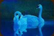 "Grace - Trumpeter Swan - 2011 - Oil on Panel 16"" x 20"""