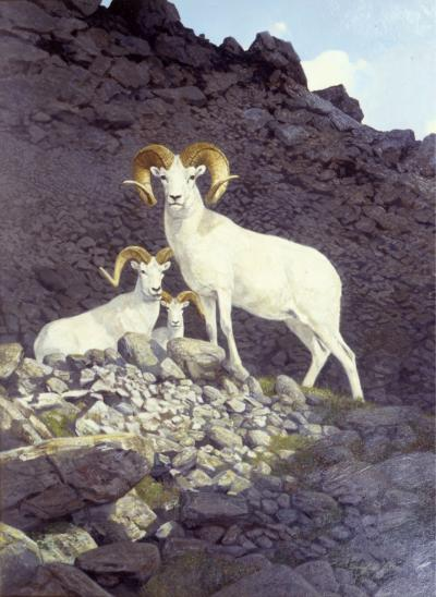 "Dall Sheep - 1960 - Oil On Board - 24 x 17 ""Big Game Animals of North America"" by Jack O'Connor"