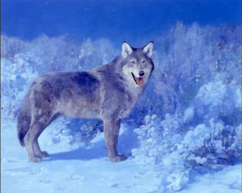 Timber Wolf - 1988 - Oil On Panel - 16 x 20